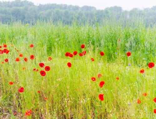 Wilde bloemen in Vilvoorde